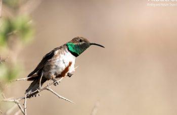Andean-Hillstar-161017-CHILE-@Fernando-Díaz-albatross-birding.com_-870x480-1-870x480 (1)