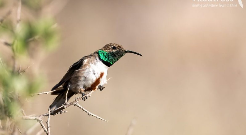 Andean-Hillstar-161017-CHILE-@Fernando-Díaz-albatross-birding.com_-870x480-1-870x480