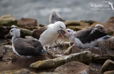Black-Browed-Albatross-3-240420-@Santiago-Imberti