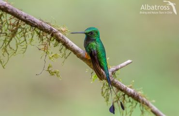Booted-Racket-tail-210618-Albatross-Birding-And-Nature-Tours