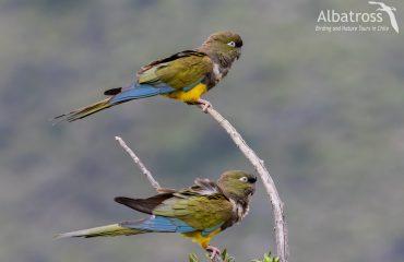 Burrowing-parakeet-021118--scaled