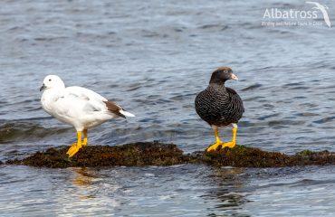 Kelp-goose-111117-Albatross-Birding-And-Nature-Tours
