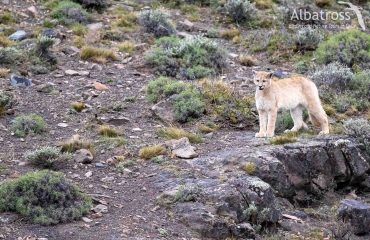 Puma, Torres del Paine