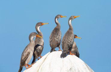Red-legged Cormorant -Editar, 050518, , Albatross Birding And Nature Tours