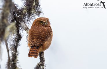 Yungas-Pygmy-Ow-190618-Albatross-Birding-And-Nature-Tours
